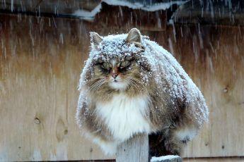 Невероятные сибирские коты стали полноправными владельцами фермерского хозяйства