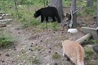 Видеохит: Кот загнал медведя на дерево