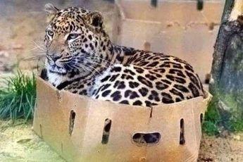 19 доказательств того, что дикие кошки это всё же КОШКИ