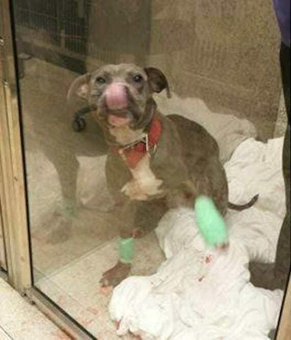 Владелец жестоко избил питбуля – после чего полицейские сделали все возможное, чтобы собака вновь почувствовала себя в безопасности