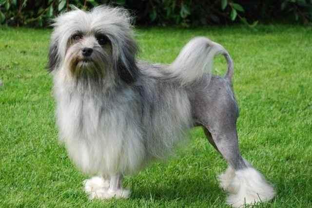 Странные и причудливые породы собак, о существовании многих из которых вы даже не догадывались