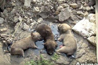 Маленькие щенки застряли в смоле. Они отчаянно скулили, но не могли выбраться, внезапно их плач услышали они…