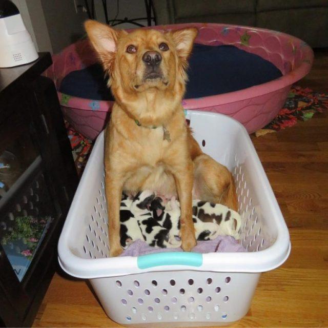 Когда собака ощенилась, её владелец заметил, что новорожденные выглядят, как маленькие коровы