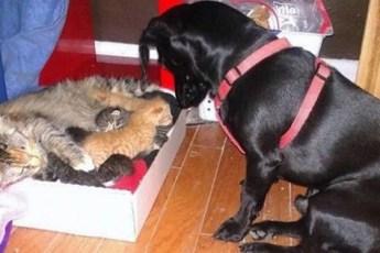 Пес стал приемным отцом котят, которых родила кошка подобранная на улице