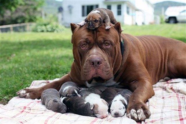 20 фотографий мамочек-собак и их милых щеночков