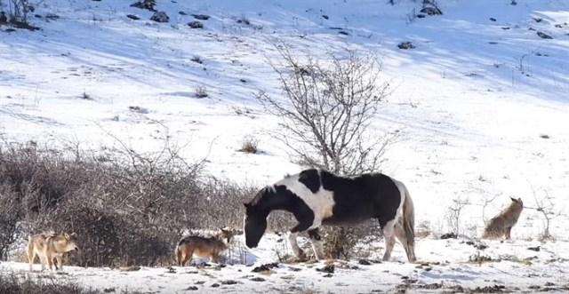 Лошадь в лесу окружили 5 изголодавшихся волков то, что произошло потом, просто не вероятно»