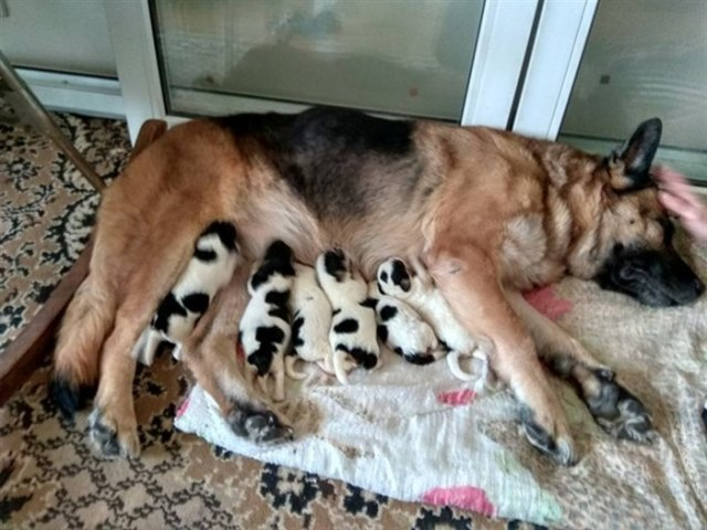 Овчарка усыновила пятерых новорожденных щеночков, которых оставили замерзать на бетонной плите