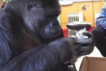 На 44й день рождения горилле Коко, преподнесли в подарок коробку с котятами. Она очень обрадовалась!