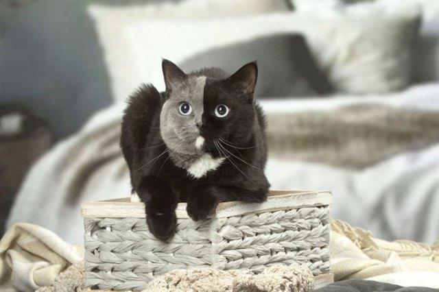 Уникальный двуликий котенок вырос и стал самой красивой кошкой