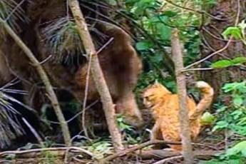 Рыжий кот совсем обнаглел и украл еду у медведя, но то как мишка отреагировал, просто удивительно