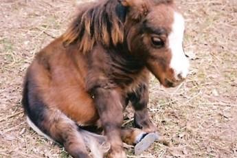 Эта чудесная лошадка — самая маленькая в мире. Но обаяния ей точно не занимать!