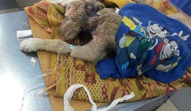 Её все гнали прочь… Собака с дырой в горле не ждала сострадания, но точно его заслуживала!