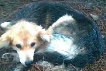 5 дней в ожидании помощи провела на обочине раненная бродячая собака
