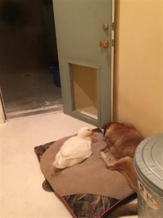 Утка спасла собаку от депрессии: такого ты еще не видел!