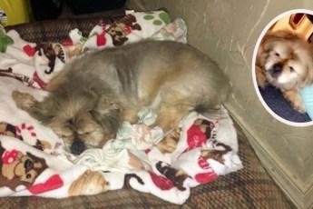 Девочка решила усыпить пекинеса и сняла видео прощания… Но пёс прямо в кадре сделал то, что спасло ему жизнь!