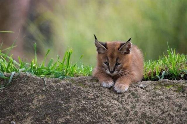 Котята каракала — одни из самых чудесных созданий на Земле
