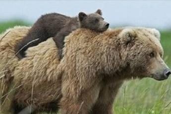 15 обаятельных мам медведиц с их очаровательными детками