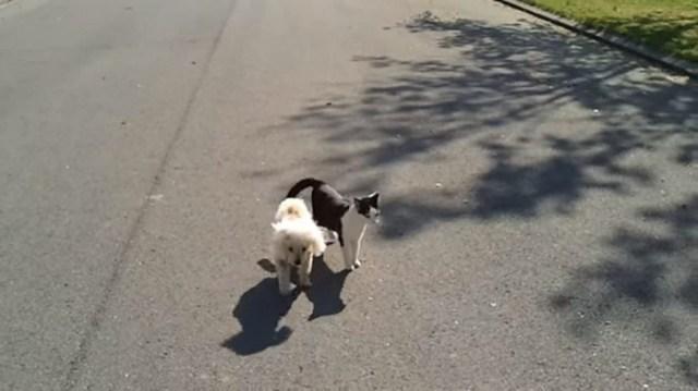 Слепому песику помогает найти дорогу домой его подруга кошка