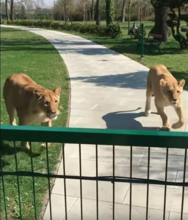 Она вырастила двух осиротевших львят, а потом их пришлось отдать в зоопарк. Спустя годы они встретились снова!
