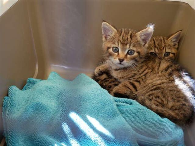 Мужчина встретил в лесу котят редкой породы, их насчитывают всего 35 на Земле