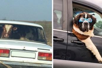 Фото забавных животных в автомобилях