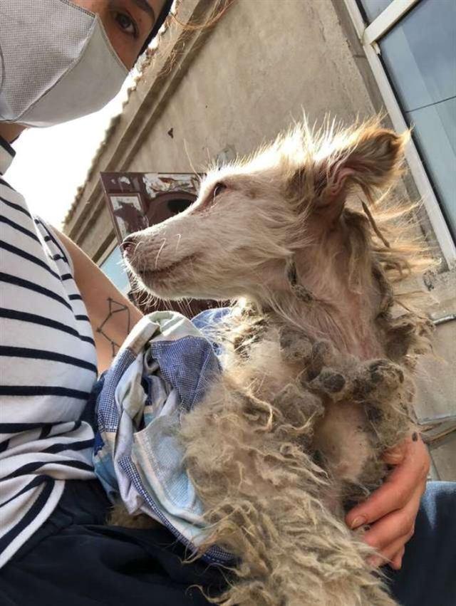 В приюте китайского городка Харбин было около двух тысяч собак, но эта выделялась среди сородичей… Нашу сегодняшнюю героиню зовут Харриет. Когда другие собачки играли, она тихонько сидела в углу, напоминая неподвижную статую. Ее мордочка выражала вселенскую грусть, а мех был чересчур грязным. 11 Все собаки оказались в приюте разными путями: кто-то попал под отлов, а некоторых спасли, вытащив из грузовиков, ехавших на бойню. Организацией, в которой содержатся собаки, владеет женщина, занимающаяся спасением питомцев. Малышку Харриет нашли в мае месяце в заброшенном доме. Она ютилась в углу, пытаясь спрятаться от всего мира. Когда волонтер из США по имени Рейчел Хинман увидела собаку, она протянула руку, чтобы ее погладить. Животное сидело, не шелохнувшись. Никто не знал, откуда взялась Харриет, но было ясно, что малышка нуждается в помощи. Толстый спутанный мех был испачкан фекалиями. Собака была болезненно худой и очень испуганной. 22 Едва питомица почувствовала, что от волонтеров не стоит ожидать ничего плохого, она буквально упала в объятия людей. Изначально спасатели думали, что собака всего лишь подросший щенок, поскольку она казалась очень маленькой. Но выяснилось, что животному уже 8 месяцев, просто Харриет плохо росла из-за недоедания. 33 К счастью, никаких серьезных проблем со здоровьем у малышки не было. Ее побрили, избавив от спутанного меха, а затем искупали. Потом Харриет поселили в приюте на пару месяцев, чтобы она могла поправиться и набраться сил. 44 Волонтеры обратили внимание на то, что малышка очень тихая и послушная. Во время стрижки она вела себя очень смирно, не проявляя никакой агрессии. Вскоре наступил момент, когда собака была готова к поиску дома. Девочку приметила Роза Валли из Канады, и прилетела забрать Харриет. 55 Девушка говорит, что грустный вид животного настолько ее тронул, что ей сразу же захотелось обнять собаку. Теперь Харриет живет вместе с Розой. Девушка даже путешествует с питомицей — недавно они посетили озеро Луиза. 66 Новая х