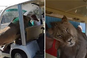 Лев ворвался в машину с туристами
