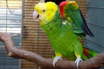 Заговоривший попугай чуть не довел свекровь до инфаркта