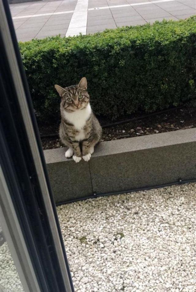 Кот подружился с кошкой-соседкой и ходит к ней каждый день