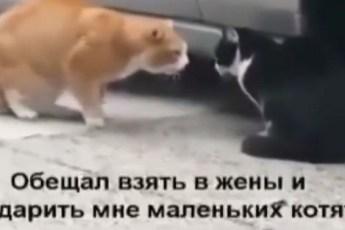Ссора в семье котов с переводом