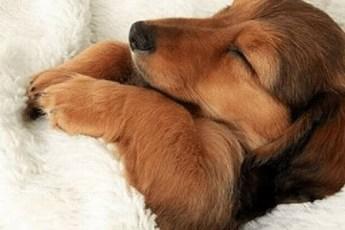 Милые песики, спящие в кроватях хозяев