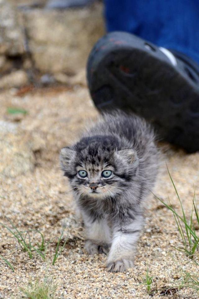 Манулёнок Дарья — история дикого котёнка выросшего среди людей