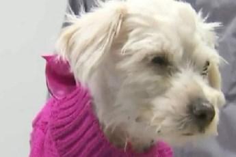 Избив собачку, кто-то выбросил ее в мусорный контейнер…Так, маленькая Хлое оказалась в беде!