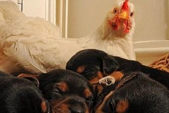 Животные мамаши, которым подменили детей