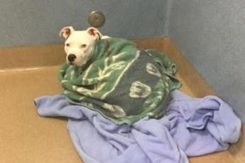 Глухой пёс кутается в одеяла из-за отсутствия любви… У его хозяев родился ребенок, и они сдали питомца в приют!