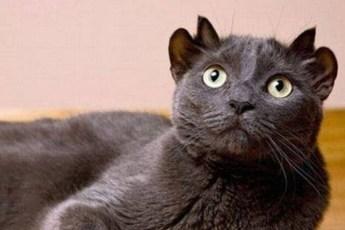 Четыре уха вместо двух! Обычная кошка родила уникального котенка, который еще и очень счастливый!