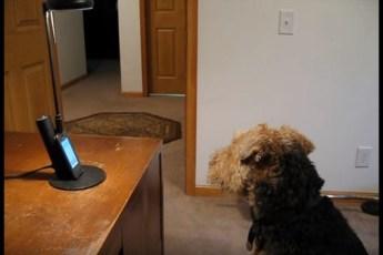 Телефонный разговор хозяина со скучающей за ним собакой