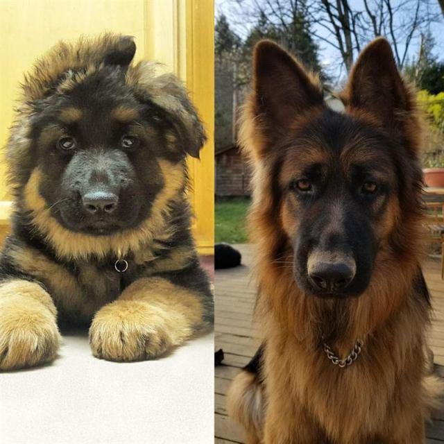 20 фотографий собак, владельцы которых задокументировали их превращение из щенков во взрослых псов.