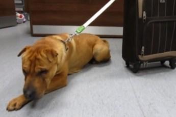 Пес оказался брошенным, привязанным к чемодану на вокзале