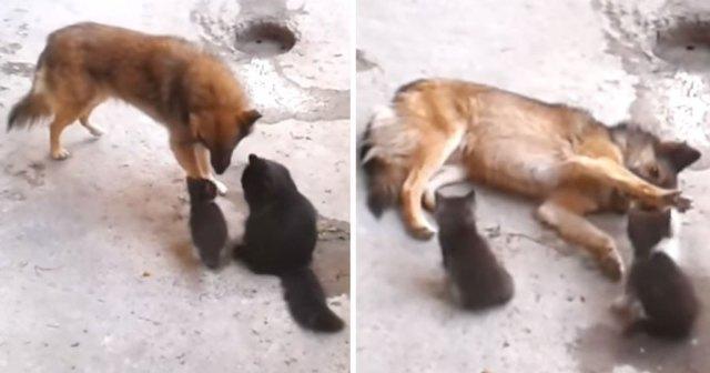 Кошка познакомила котят с другом псом