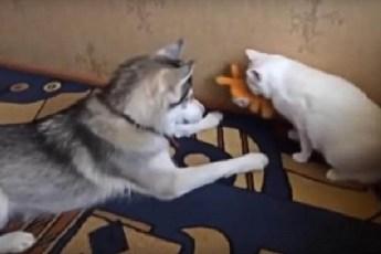 Хаски вежливо просит кота вернуть ему игрушку. Удивительное поведение собаки!