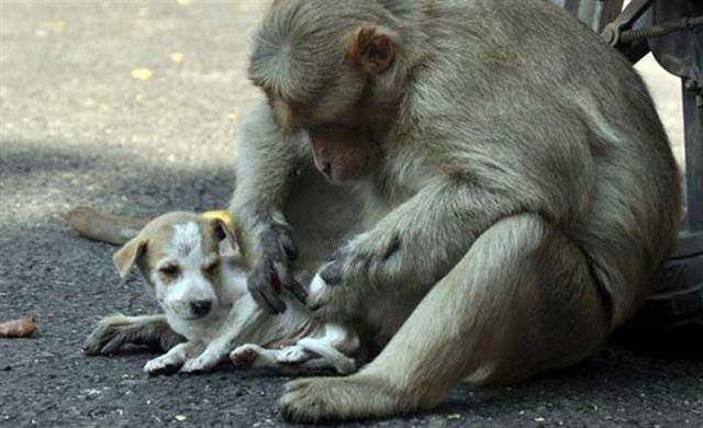 Заботливая обезьяна усыновила щеночка. Теперь она охраняет и ухаживает за ним