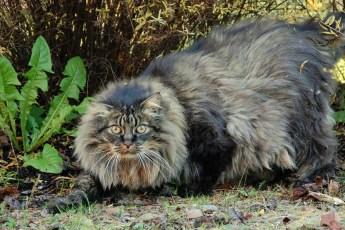 Самые огромные в мире коты