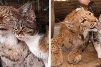 Дикая рысь и обычная кошка выросли вместе и до сих пор неразлучны