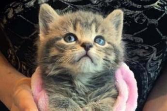 Жительница Монреаля нашла двух котят с дополнительными пальцами на лапках