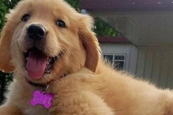 «Будни маленьких ретриверов»: 10 забавных снимков щенков в житейских ситуациях