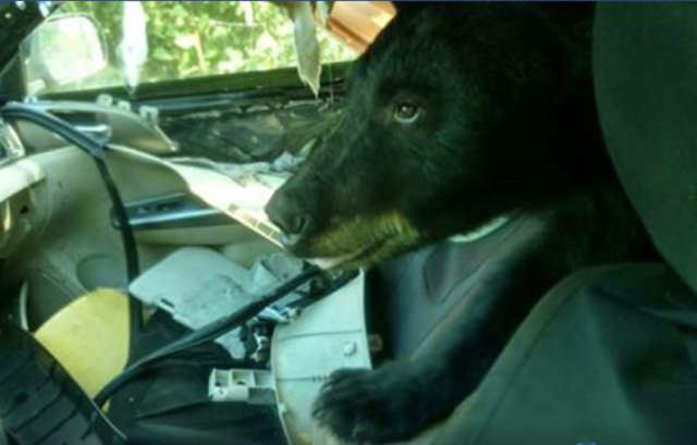 В Колорадо медведь-хулиган залез в машину, съел бананы и разодрал все остальное