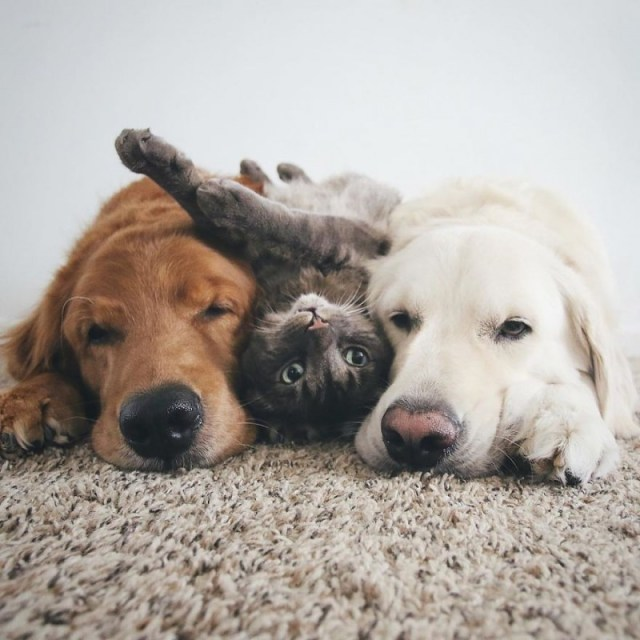 Эти две собаки и кот живут вместе как одно целое