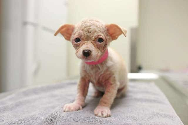 Девушка увидела фото тощего, лысого щенка чихуахуа и сразу решила изменить его жизнь