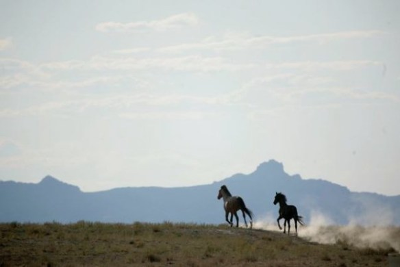 Native Wild Horses (Photo © Cynthia Smalley, all rights reserved)